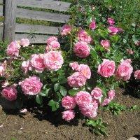 куст розы Rosenfee от Kordes :: lenrouz
