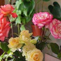 Розы :: Михаил Сбойчаков