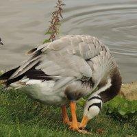 Чирок-трескунок (Anas querquedula) на монастырском пруду :: Александр Качалин