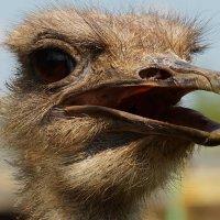 Портрет страуса :: Vladimir Polushin