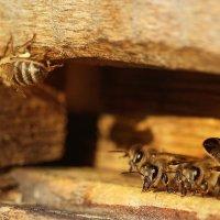 Пчёлы :: Анна Рахимова