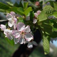 Весна - пора цветенья :: Светлана Гугис
