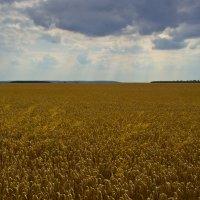 Хлебное поле :: Тарас Грушивский