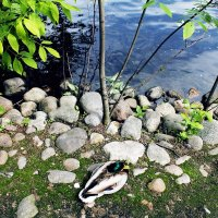Утка касатка (300 парк) в Санкт-Петербурге с летом :: Дарья Егорова