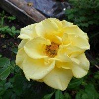 Расцвели на даче розы... :: BoxerMak Mak