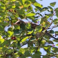 Птица и ягодки :: Aнна Зарубина
