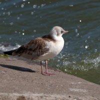 Молодая чайка :: Andrad59 -----