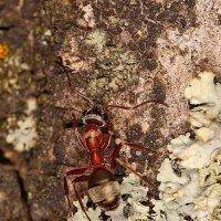 опять муравей :: Андрей Волгоградский