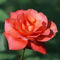 Роза любви :: НАТАЛИ natali-t8