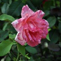 Просто, розы на закате.. :: Алексей Бубнов
