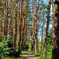 В сосновом лесу... :: Наталья Костенко