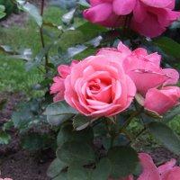 Розы :: Anton Сараев