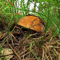 За грибами 5. :: Пётр Сесекин