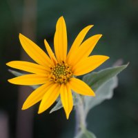 Солнечный цветок :: Олег Козлов