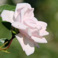 Розовая Сантана :: Зина Иванова
