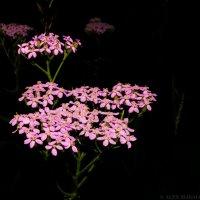 В розовом цвету :: Алексей Масалов