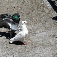 О,голубка моя! :: Наталья