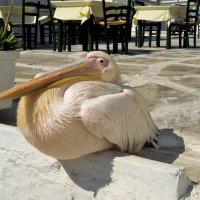 Пеликан по имени Петрас :: Марина Бушуева
