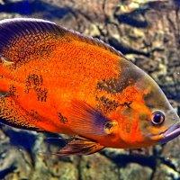 Красивая рыба :: Ростислав