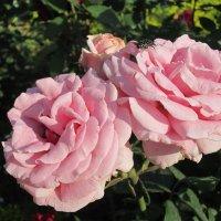 Розовое настроение... :: Тамара (st.tamara)