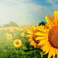 Солнечные подсолнухи :: Евгения