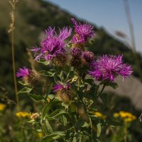 Цветы на одной из вершин г. Бештау (Малое Тау) :: Vladimir 070549