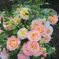 роза Briosa от Barni / Италия / :: lenrouz