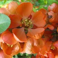 Цветы айвы :: Михаил Болдырев