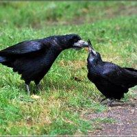 грачи :: linnud