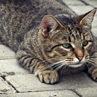 кот бойцовый средней пушистости :: Дмитрий Анцыферов