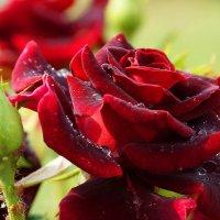 бархатная роза :: Александр Потапов