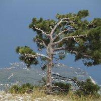 Растет одиноко на горной вершине сосна... :: esadesign Егерев