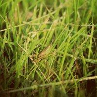 В траве сидел кузнечик :: Яна Костюченко