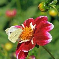 Георгин и бабочка :: Alexander Andronik