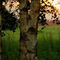 Вечер в берёзовой роще. :: Инта