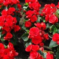 """Begonia ×hiemalis Fotsch """" BALADIN """" :: laana laadas"""