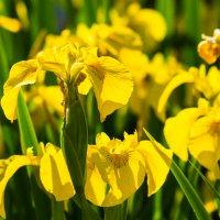 Жёлтые ирисы :: Ира Надеева
