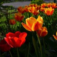 Тюльпаны. :: *MIRA* **