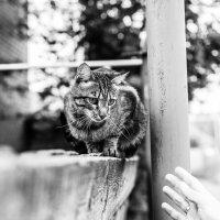 Кот на заборе :: Александр Моисеев