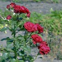 Розы. :: Анатолий