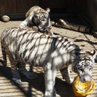 Тигрята развлекаются! :: Ирина Олехнович