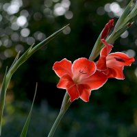 Алый цветок :: Елена Ахромеева