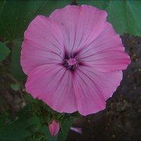 Розовая лаватера :: Нина Корешкова
