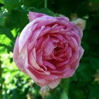 Роза :: Маша Ильинова