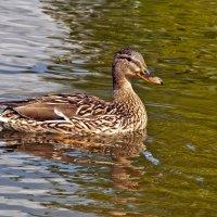 The Duck swims :: Roman Ilnytskyi