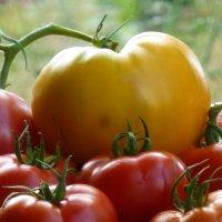 Мои томаты :: ТаНЮША Ч