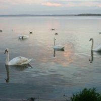 Лебеди :: Анастасия Шаронова