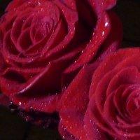 Две розы :: Татьяна Юрасова