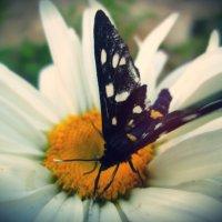 Бабочка :: Денис Дробот