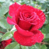 Умытая дождём... :: Тамара (st.tamara)